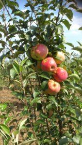 Apples Organic Bio