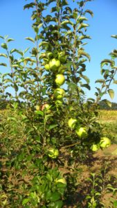 bio apples bio apples
