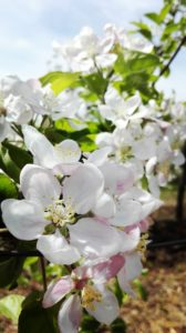 Organic Apples Bio Bulgaria