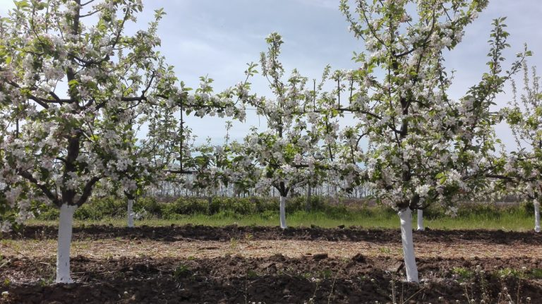 organic Bio apples
