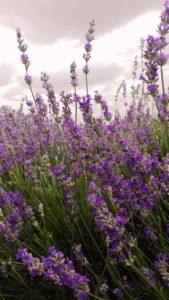 Organic lavender Bulgaria