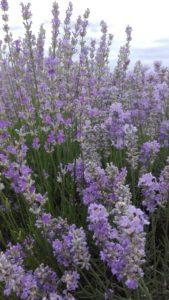 Lavender Oil Plant